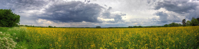 Rapeseed Field, Clandon, Surrey UK